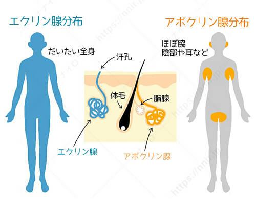 エクリン腺とアポクリン腺説明 ワキガ クリーム ランキング